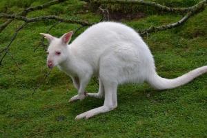 5-Albino-Kangaroo